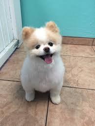 Dog Grooming Styles Haircuts Pet Haircuts A Day In Paradise Dog Grooming Dog Hair Styles Mesa