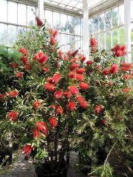 callistemon citrinus bottlebrush bottlebrush tree