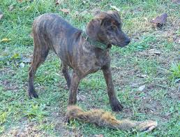 bluetick coonhound kennels in tennessee treeing tennessee brindle dog breed standards