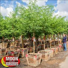sissoo tree fast growing trees moon valley nursery
