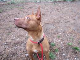 american pitbull terrier hound mix view ad american staffordshire terrier pharaoh hound mix dog for