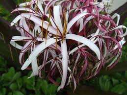 plantfiles pictures red leaf giant crinum poison bulb giant