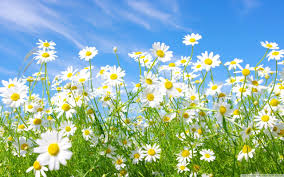 field of daisies wallpapers group 62