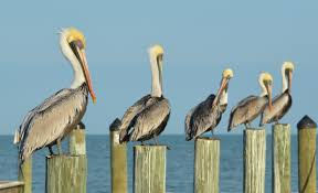 pictures of pelicans brown pelican photos phil lanoue