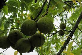 how to harvest process and store black walnuts farm and dairy