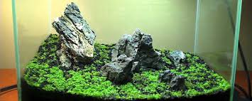 Planted Aquarium Aquascaping Create A Carpet In Your Planted Tank The Aquarium Guide