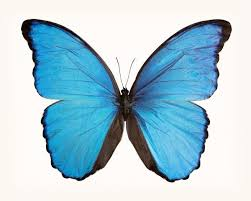 Blue And Green Butterfly - best 25 blue butterfly ideas on blue butterfly