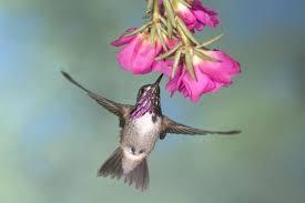 purple sage originals hummingbird fever