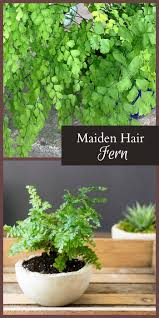 Best Indoor Plants Low Light by Best 25 Maidenhair Fern Ideas On Pinterest Indoor Ferns Indoor