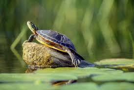 map turtle how to care for mississippi map turtles