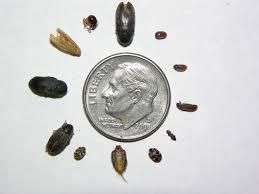 Biscuit Beetle In Bedroom 100 Larder Beetle In Bedroom Insects In My Room Archive