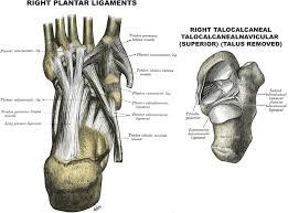 Foot Ligament Anatomy Foot Tendon Anatomy Human Anatomy Charts