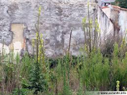 bouillon blanc en cuisine bouillon blanc molène verbascum thapsus planter cultiver