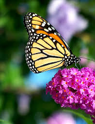 butterfly flowers file monarch butterfly flower jpg