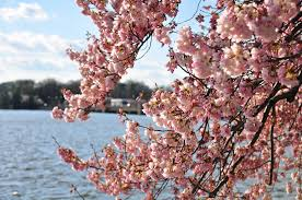 National Cherry Blossom Festival by Celebrate Cultural Celebrations Around The World Stowaway Magazine