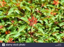 firebush or hummingbird bush hamelia patens flower stock photo