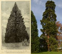 is this 158 year old redwood the uk u0027s oldest living christmas tree