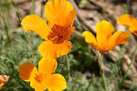 California Poppy California Poppy U003c U003c Naturalized Wildflowers Stock Seed Farms