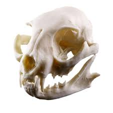 aliexpress com buy realistic cat skull resin replica teaching aliexpress com buy realistic cat skull resin replica teaching skeleton model aquarium home decoration from reliable decorative decorative suppliers on