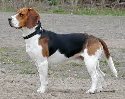 australian shepherd beagle mix 4 answers what would a great pyrenees beagle mix look like how