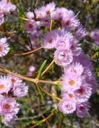 feather flower feather flower protection at kojonup bush heritage australia