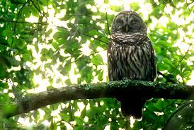 barred owls of the niagara region