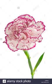 white and pink blooming carnation flower on white background stock