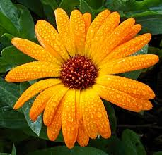 calendula flowers calendula flower facts and meaning october birth flower