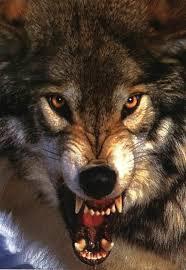 imagenes sorprendentes de lobos pin de eliene finco en catrina pinterest lobos y pastor