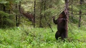 Dancing Bear Meme - dancing bears and a parade of flamingos planet earth 2 s latest