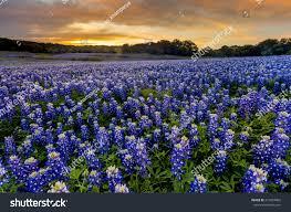 beautiful bluebonnets field sunset near austin stock photo