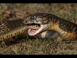 vidio film ular anaconda king cobra vs anaconda youtube