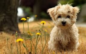 american eskimo dog rescue wichita ks dogs for adoption near you dog adoptions network