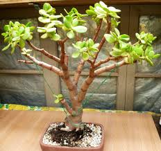 Silk Plants Direct Jade Plant Jade Plant U2013 Bonsai Ideas Jade Plants Bonsai And Jade