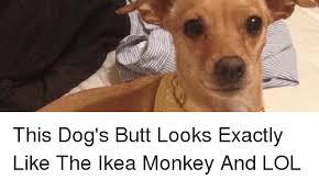 Ikea Monkey Meme - this dog s butt looks exactly like the ikea monkey and lol butt