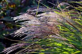 see our top 10 autumn ornamental grasses for the garden rhs