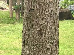 gypsy moth caterpillars growing in size and numbers