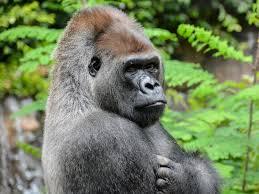Gorilla Meme - shabani the handsome gorilla we went ape for in 2015