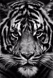 magical nature tour u2014 too close by justin lo tigers pinterest