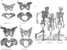Male And Female Anatomy Differences The Evolution Of The Human Pelvis Changing Adaptations To