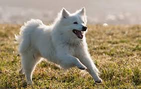 american eskimo dog london american dog breeds dog breed atlas