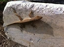 Seeking Lizard Review Lizard Picture Of Iberostar Laguna Azul Varadero Tripadvisor