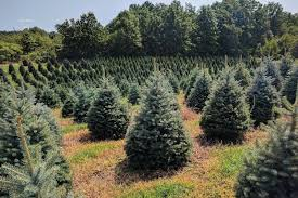 balsam christmas tree this local tree farm is letting customers cut their own tree