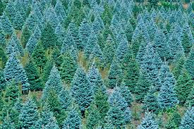 blue spruce trees blue spruce trees grow from seed https www sheffields seeds