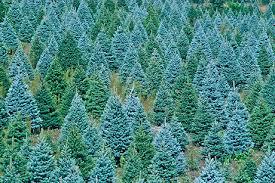 blue spruce blue spruce trees grow from seed https www sheffields