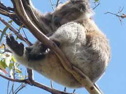 High Koala Meme - why real is better than larger than life the koala paradox