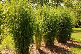 growing switchgrass plants in the yard wearefound home design