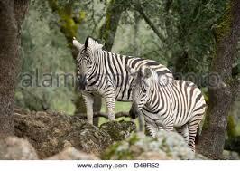 baby zebra stand in botswana s savuti heads