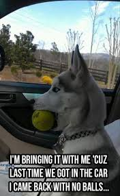 Dog In Car Meme - i came back with no balls funny dog meme picture