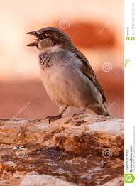 chirping mojave desert sparrow stock photo image 28083180